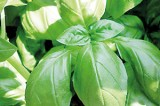 Green and healthy, grow your own Basil