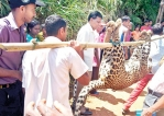 Wild boar trap kills leopard