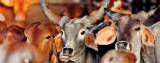 Modi government says to push for cow slaughter ban in India