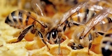 US to halt expanded use of some insecticides amid honey bee decline