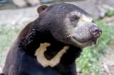 Saving Cambodia's vulnerable bears