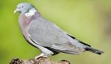 Spy pigeon jailed in India