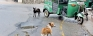 Hounds to humans ratio rises, with rabies risk