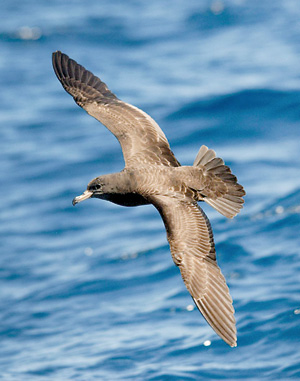 Flesh-footed Shearwater. Photo (c) Robyn Pickering