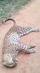 Perhaps this leopard did not die in vain