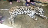 Wire trap kills another Hill Country leopard