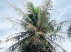 Parasite devastates coconut estates