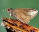 Enter the Banana Skipper butterfly; bad news for banana farmers