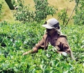 Tea Board moves into auction to save industry