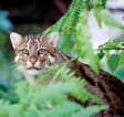 Asia's small wild cat needs protection