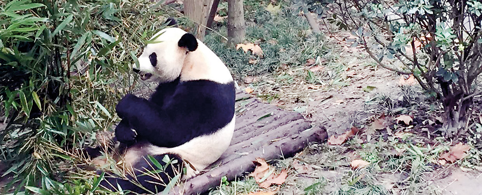 Chengdu Giant Panda  Research & Breeding Base