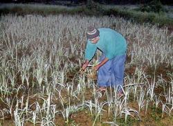 Rains ruin  vegetable cultivation