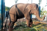 Wildlife officer connives to 'relocate' and sell captive baby elephants