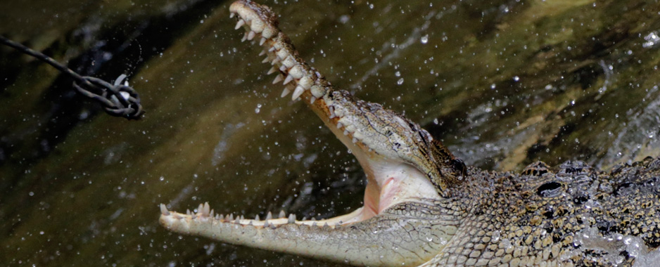 'Caught' and then a hug for 7-foot croc!