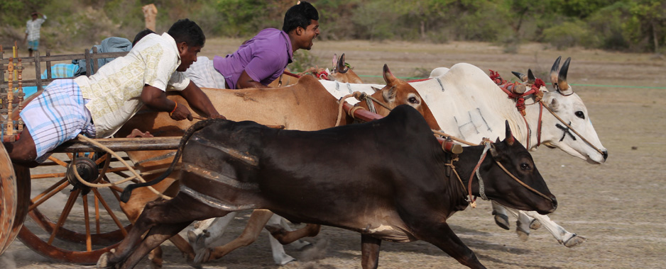Activists take bull by the horns to stop cruel hackery races
