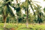 National Coconut Replanting Programme: An alarming scenario