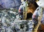 Cute terrapin import a major threat