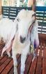 Sri Lanka exports goats to Male