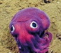 Researchers spot bizarre 'googly-eyed' stubby squid 900 feet down on the sea floor off California