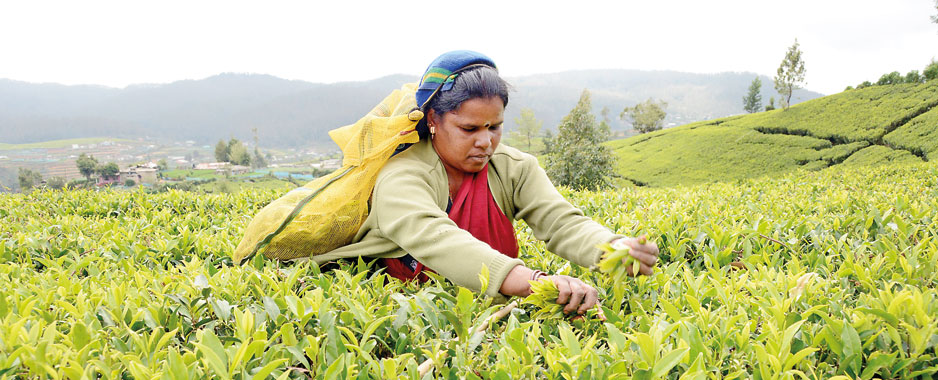 Greener pastures beckon Ceylon Tea estates