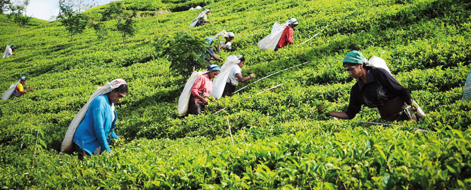 Cheap tea imports for blending will ruin Ceylon Tea brand and endanger industry, warns top producer