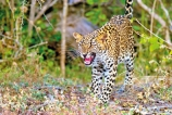 A glimpse of leopards in Yala