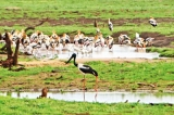 Forget the elephants, there's a Black necked stork!