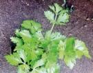 'Tis the season for ar omatic herbs