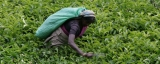 Sri Lanka tea plantations: Crisis and restructure