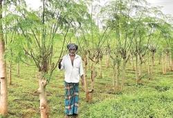 Murunga, the wonder crop