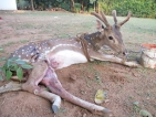 Wounded deer finds haven