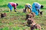 Record B'onion harvest in the North
