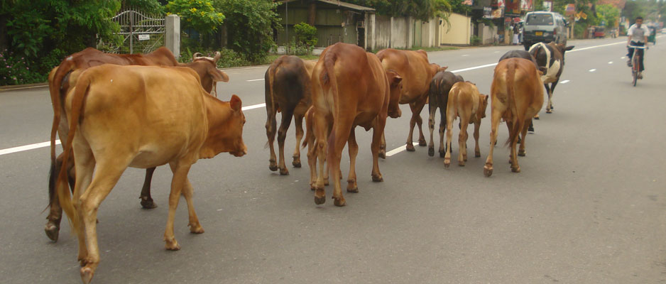 Cattle menace to  be driven off the roads