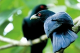 Koha's call overseas comes from another species