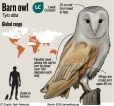 Urban excitement over barn owls
