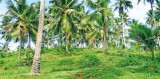 Prevailing drought and impact on coconut production, exports and prices