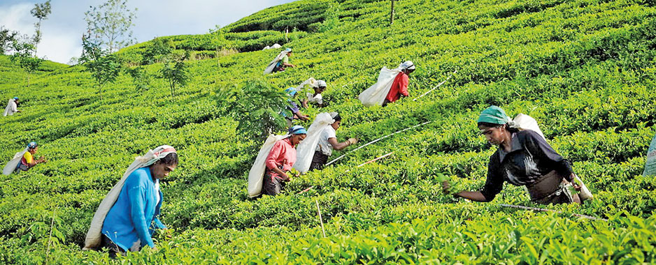 SSri Lanka's share of world tea output down to 6 % from 10.5 % in 2000