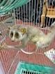 Declining loris populations  risk lives on power lines