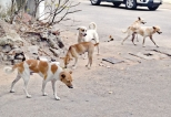 Govt to rid Metropolis of stray cattle, dogs and of beggars