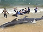 Sampur pilot whales stranding will remain a mystery
