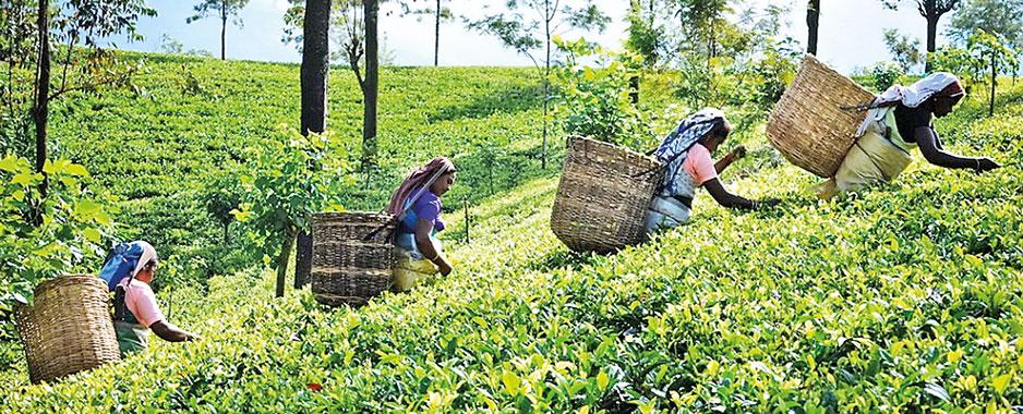 Ailing tea and rubber sectors