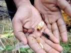 Red Beetle threatens coconut cultivation