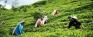 Plucker, kangani feted at grand Ceylon Tea celebrations