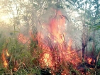 Forest fires, deliberate in some  cases, finish off native plants