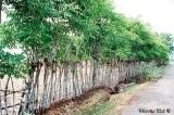 Firewood and organic fertiliser from wonder tree gliricidia