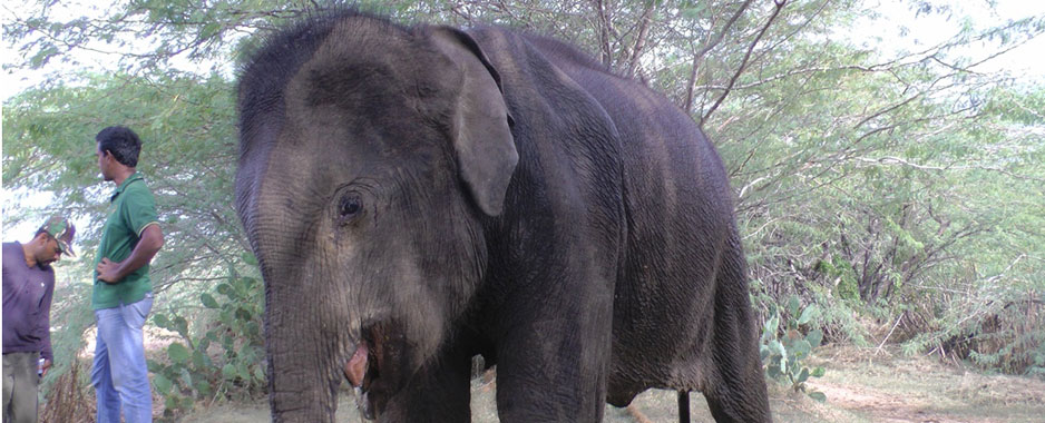 Explosives killing  hundreds of elephants, protection handicapped