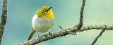 White-eyes create quite a flutter