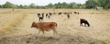 Rice-growing period in peril without seasonal rains