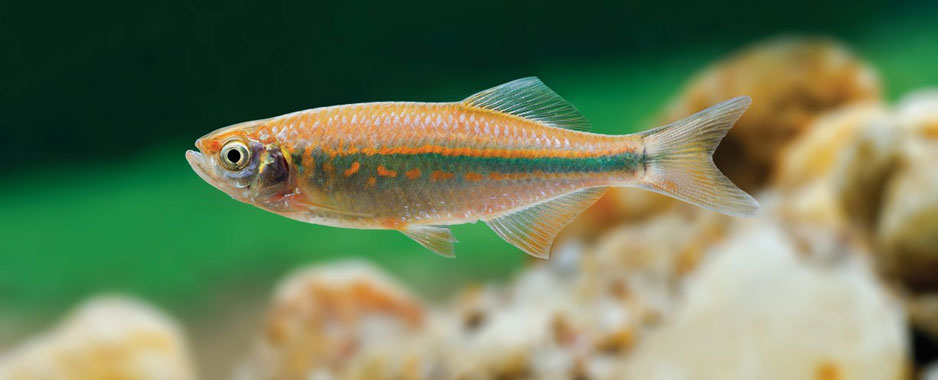 Four new species of Devario discovered in Sri Lanka