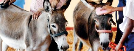 Mannar's donkey  buddies